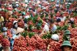 Hình ảnh vải Lục Ngạn như chợ hoa đào xôn xao cộng đồng mạng